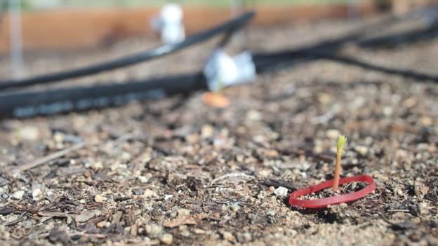 Intensive Moringa Planting