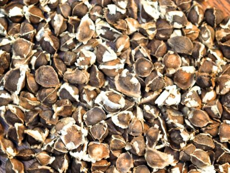 Wholesale Moringa Oleifera Seeds