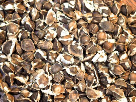 Organic Moringa Seeds: PKM-1 Moringa Oleifera Seeds