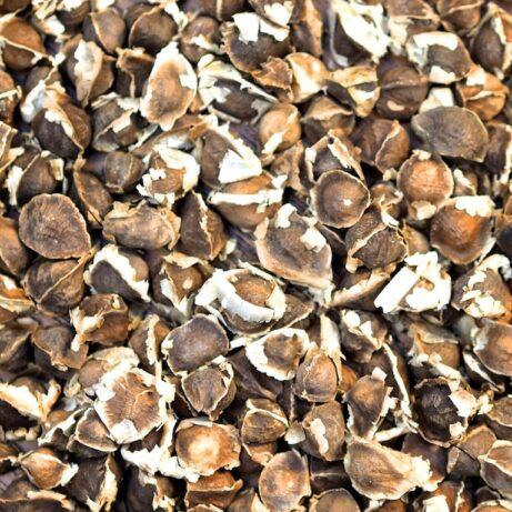 Bulk / Wholesale Moringa Oleifera Seeds