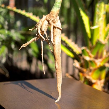 Moringa Oleifera Root Stock