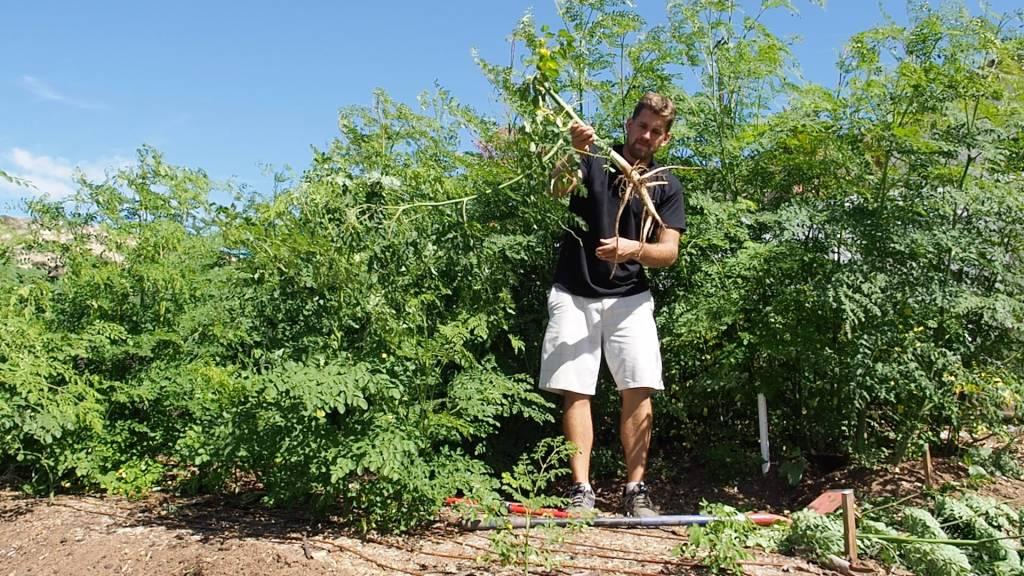 Moringa Roots Are Amazing! Harvest and Replant Moringa