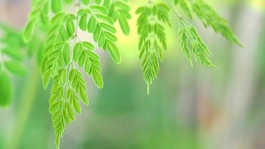 Moringa Oleifera: Superfood of Super Hype