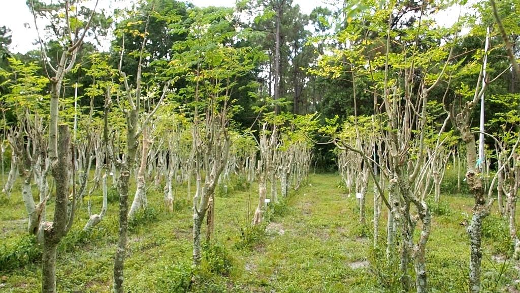 Moringa Grown for Leaf Production