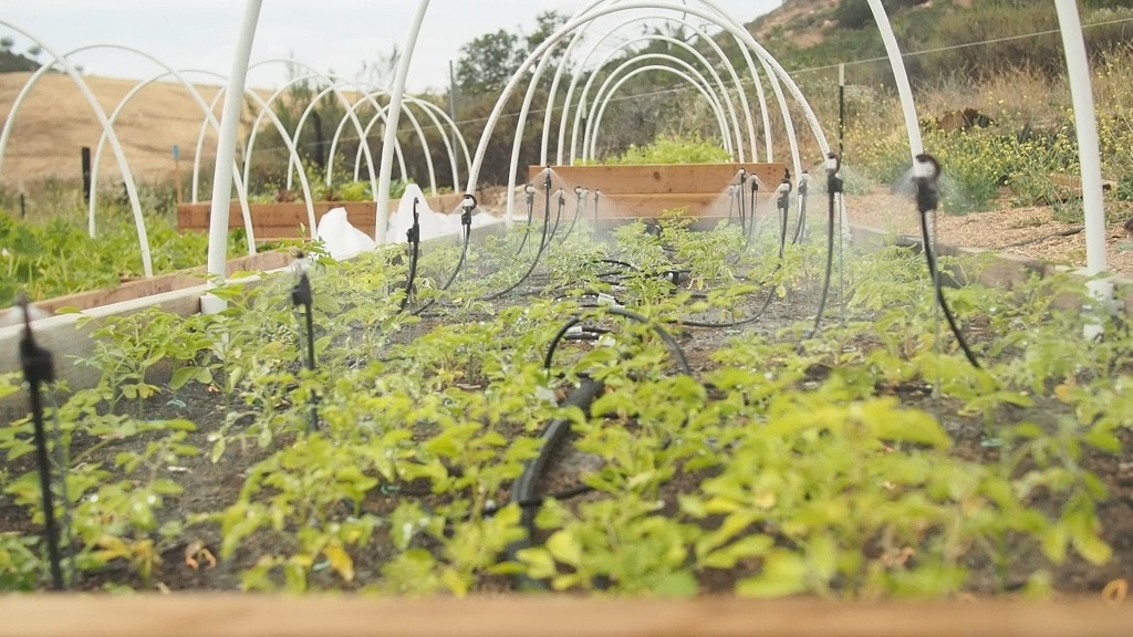 Intensive Moringa Cultivation