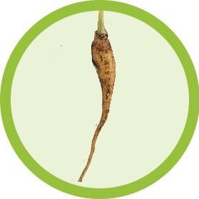 Grow Moringa From Root Stock