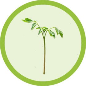 Grow Moringa From Seedling