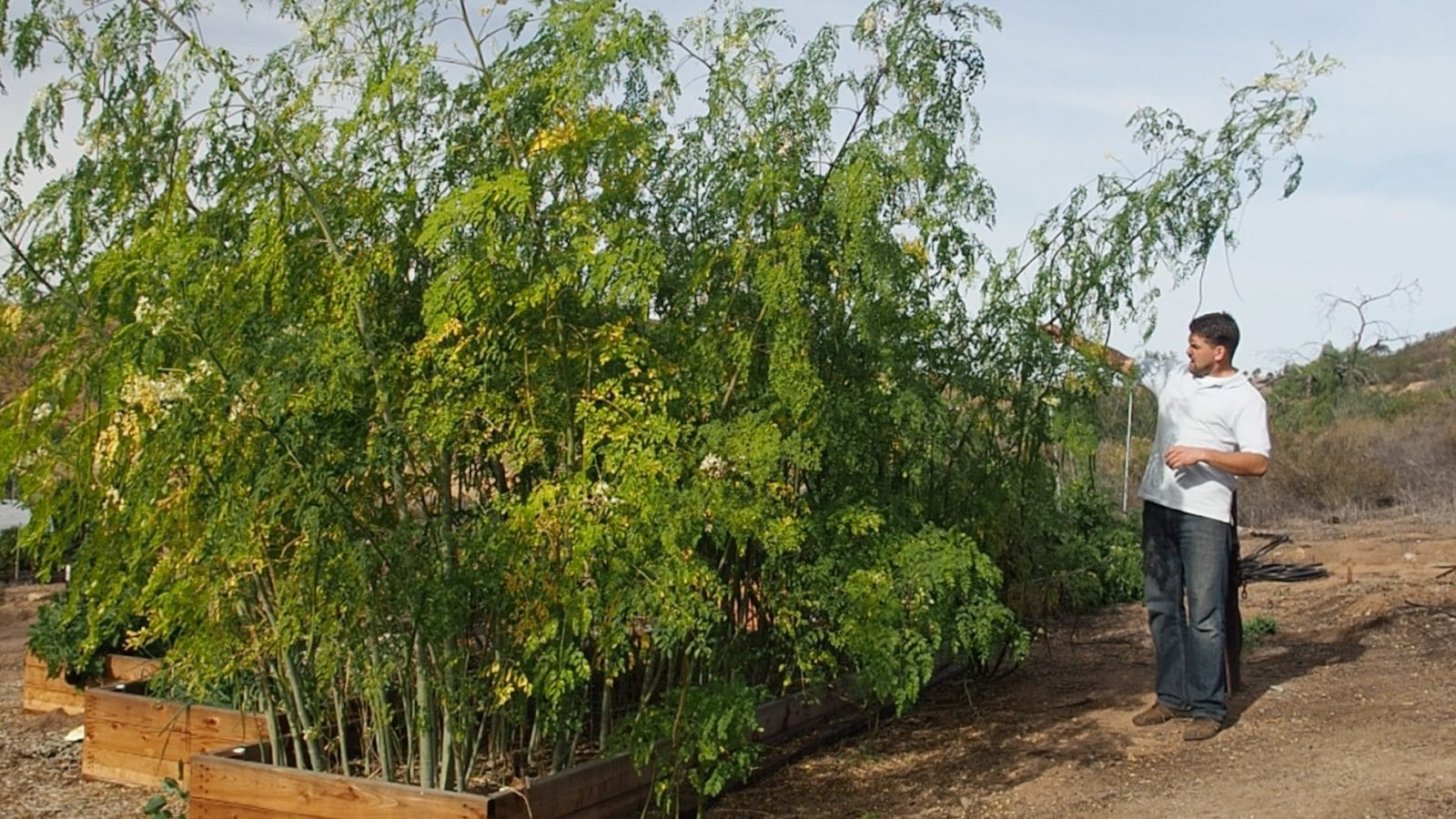 Intensive Moringa Cultivation - 8.5 Month Update