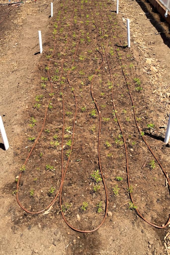 Moringa Seedlings Emerged