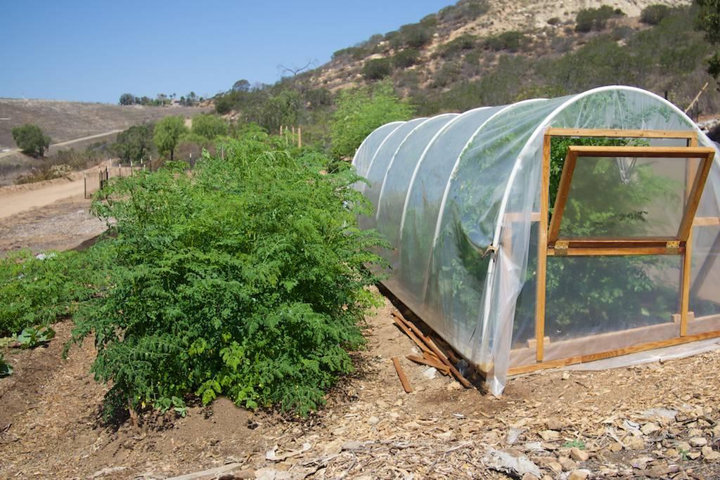Planting Moringa Seeds