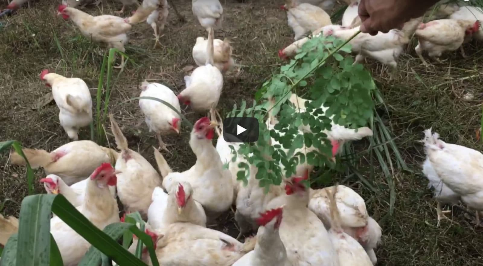 Chickens Eating Moringa Leaves