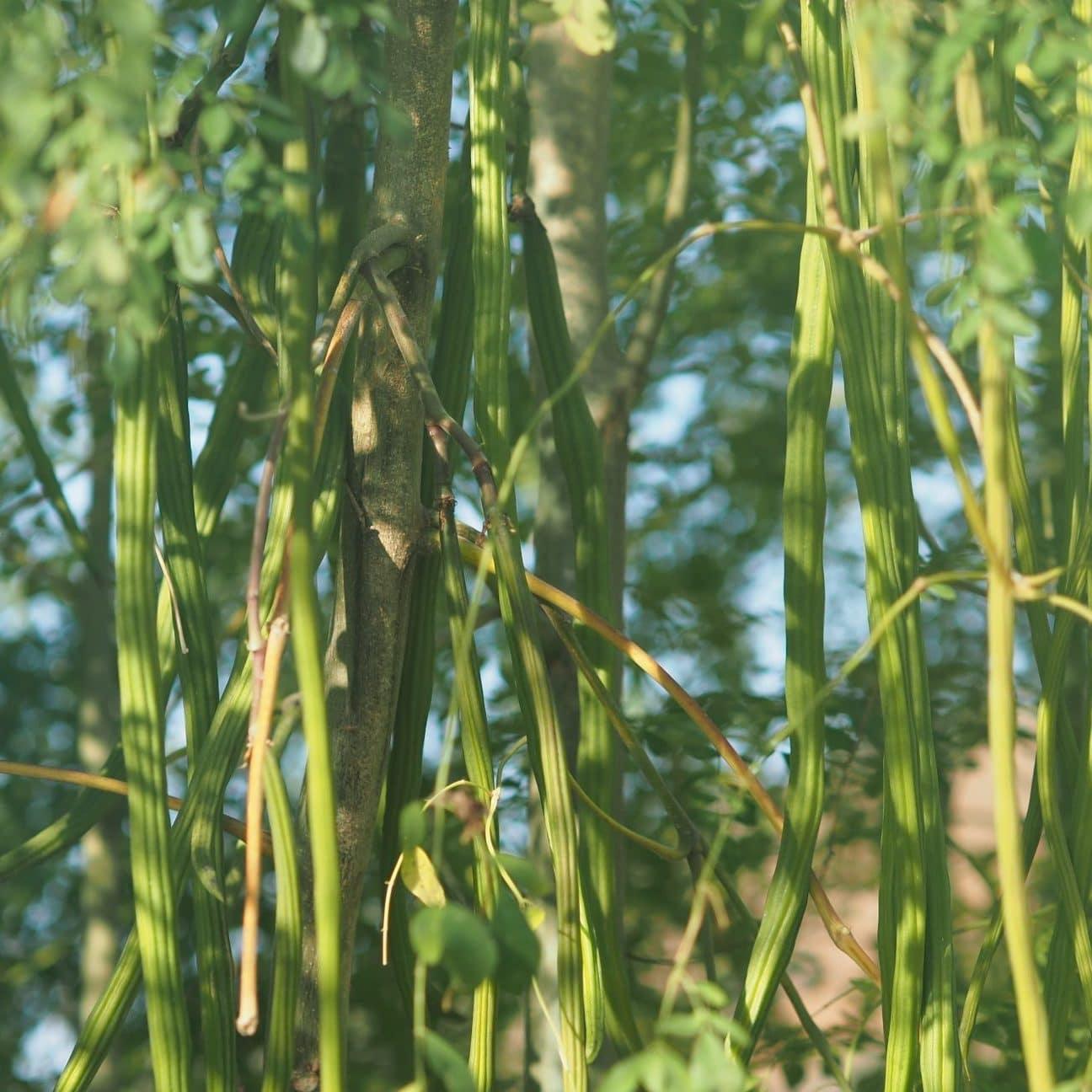 Watch How drumsticks moringa oleifera is useful for health video
